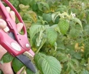 Уход за садовой малиной: правила и особенности
