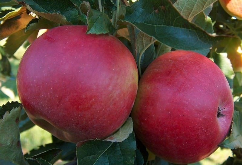 Лучшие сорта яблок для средней полосы России