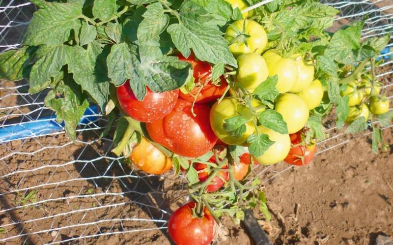 Низкорослые помидоры для открытого грунта: характеристика лучших сортов