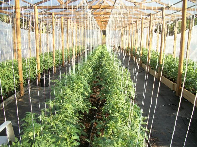 Оптимальная температура в теплице для помидоров