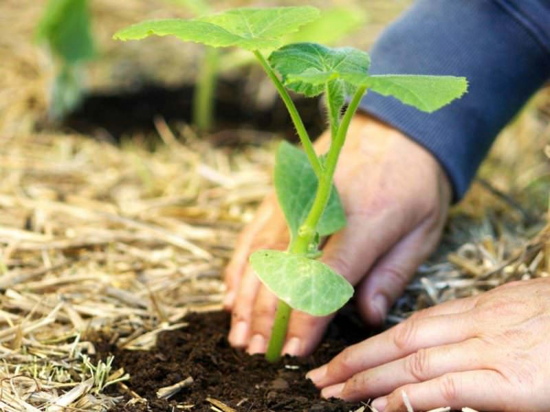 Когда и как правильно сажать тыкву на рассаду