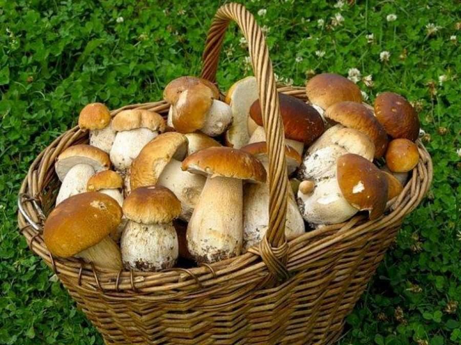 Белые грибы: места сбора в России, Украине и Германии