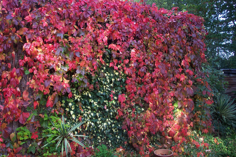 Девичий виноград: особенности размножения, посадки и ухода осенью