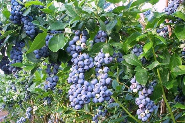 Голубика: правила ухода осенью и особенности подготовки к зиме