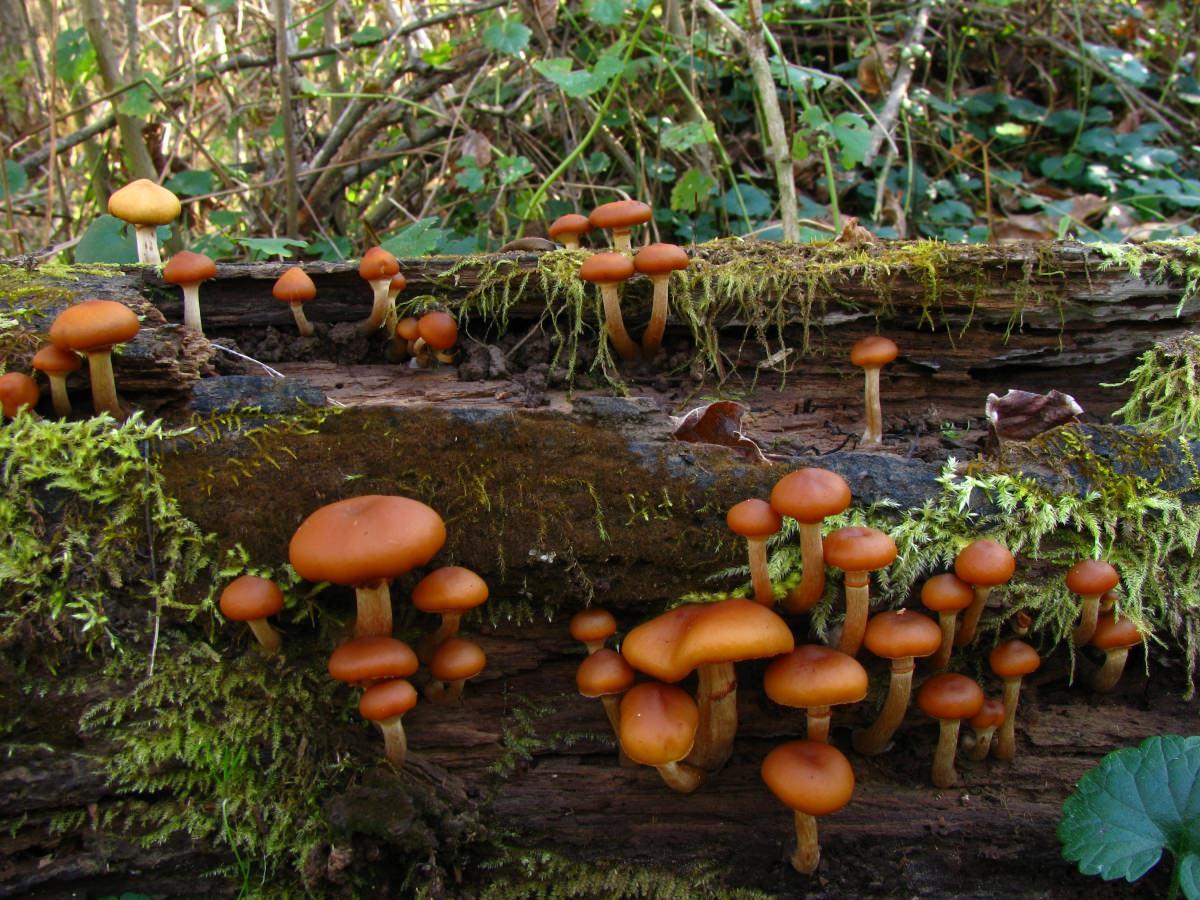 Опята летние: описание и места произрастания грибов
