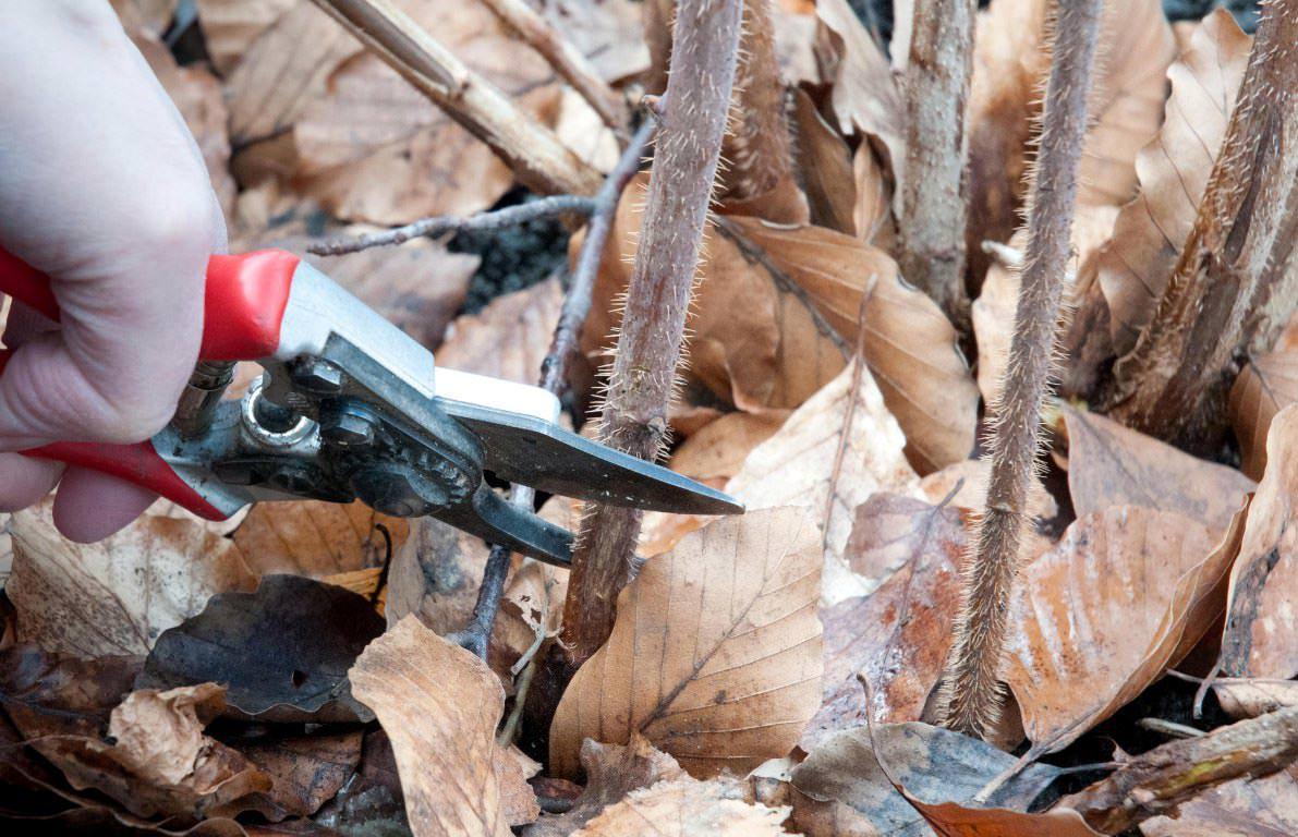Секреты ухода за ремонтантной малиной осенью для большого урожая