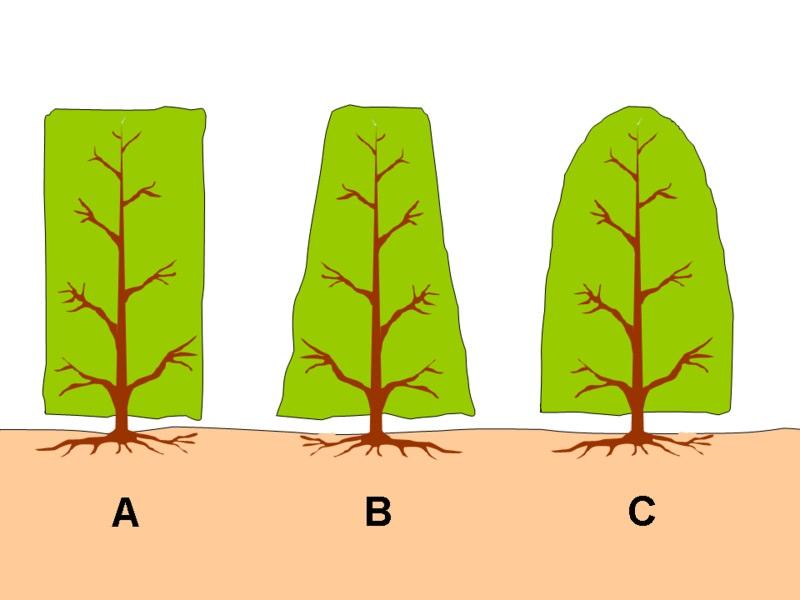 Туя: как сохранить зеленую красавицу в зимнее время года