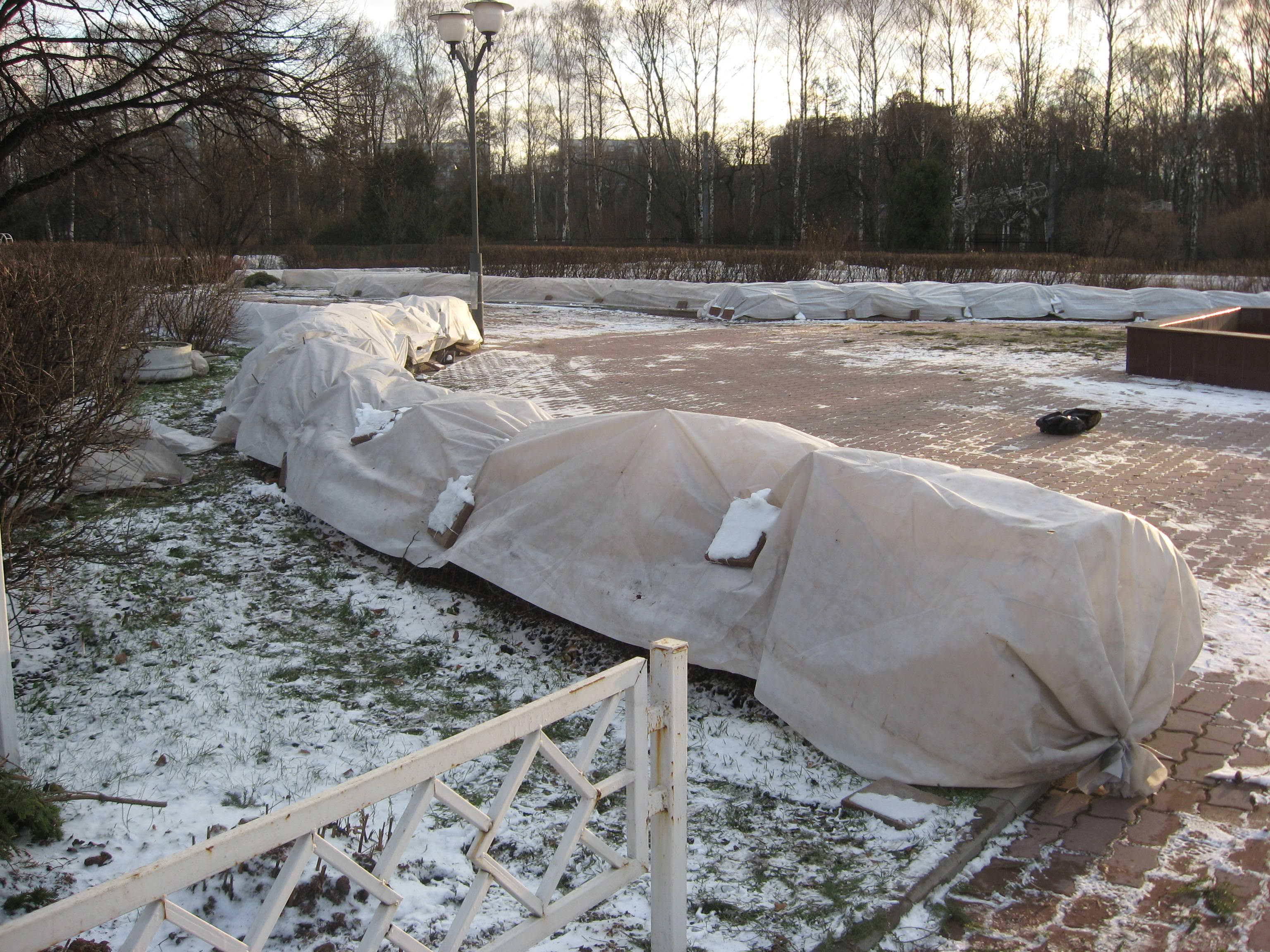 Вейгела: правила осеннего ухода и подготовки к зиме