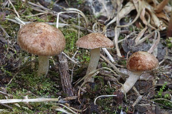 Ядовитые грибы: определяем вид и учимся отличать от съедобных