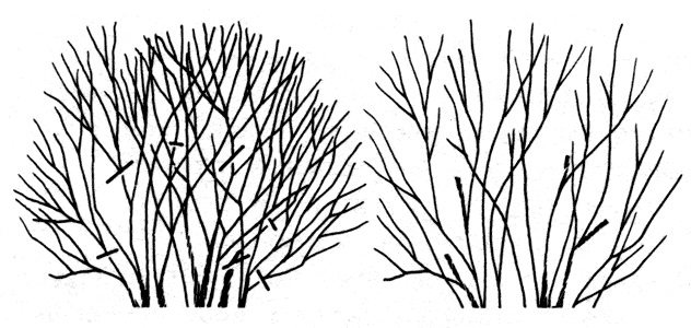 Уберечь от холодов: особенности обрезки и ухода за спиреей осенью