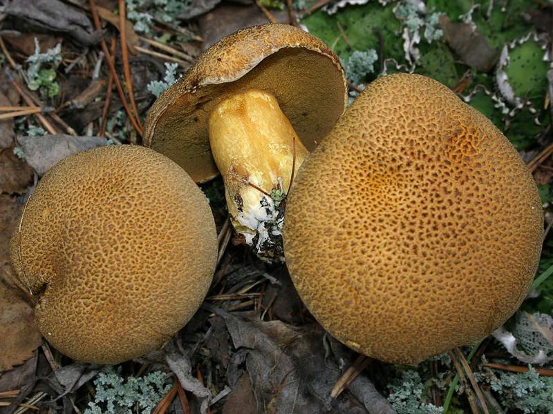 Гриб моховик: описание съедобных разновидностей и двойников, способы приготовления