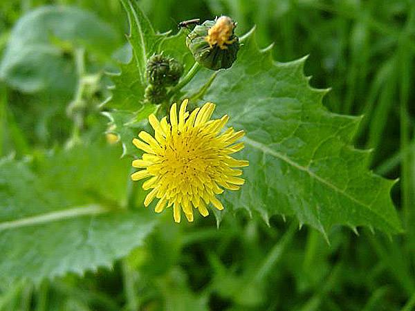 Осот: внешний вид и лечебные свойства травы