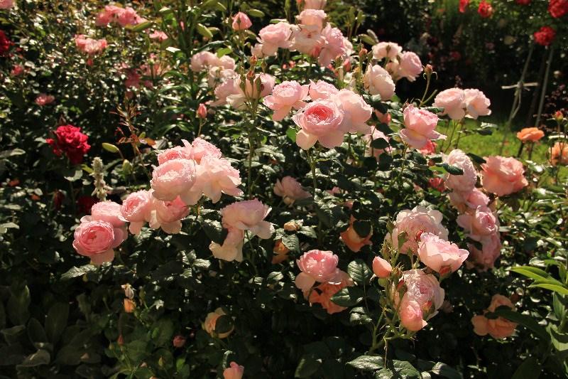 Выбираем низкорослые цветыдля компактных садовых композиций
