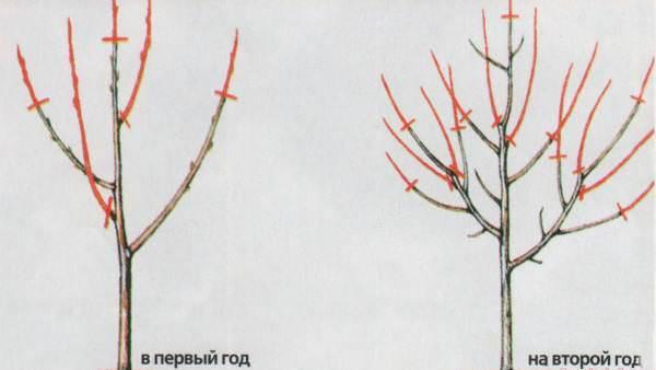 Технология, сроки и виды обрезки абрикоса осенью