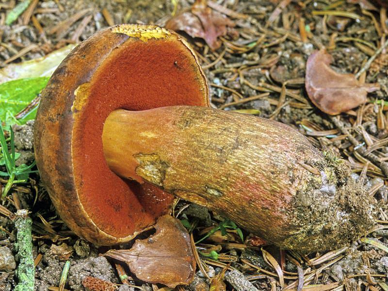 гриб дубовик фото и описание