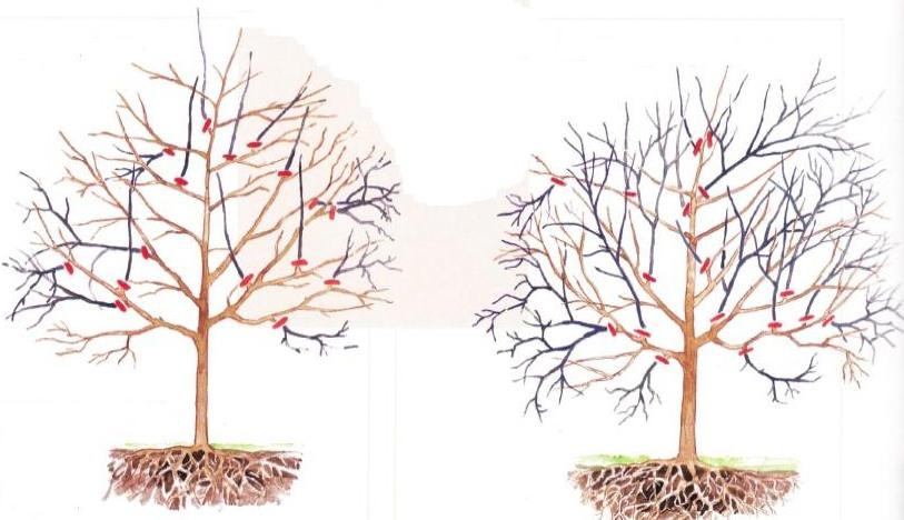 Технология и схемы обрезки черешни осенью для начинающих