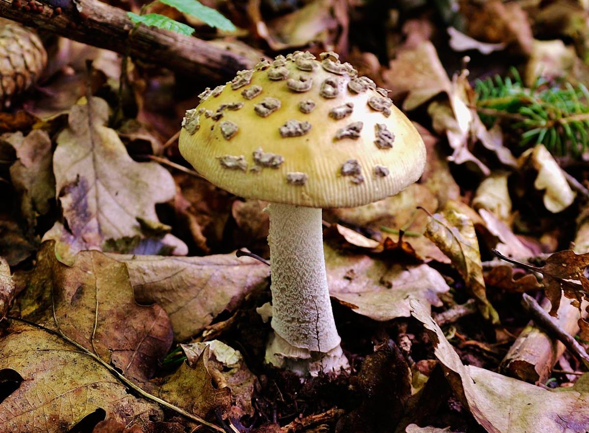 Описание внешнего вида и вкусовых качеств грибов толкачиков