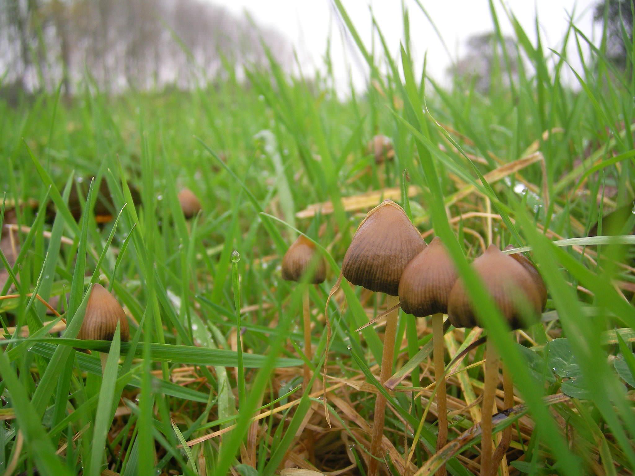 Псилоцибе сосочковидная (полуланцетовидная): внешний вид и свойства опасного гриба
