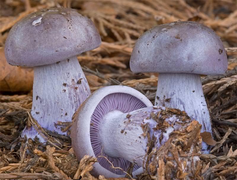 Как выглядит и где растет гриб синеножка