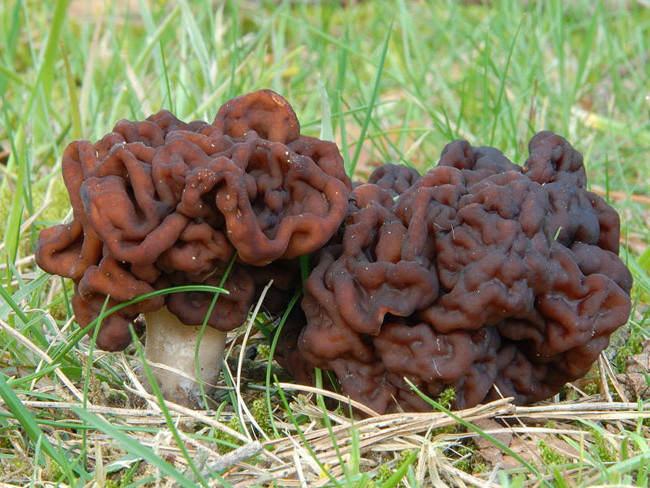 Как выглядят и где растут грибы строчки