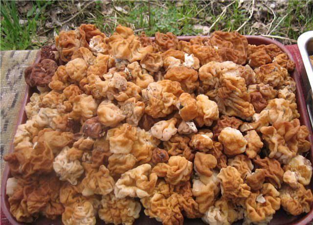 Съедобные, ядовитые и несъедобные грибы Подмосковья в июне