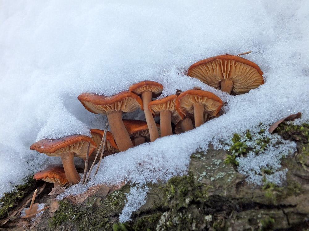 Зимние опята: описание внешнего вида, места и правила сбора