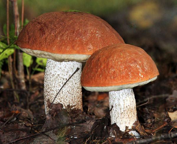 что значит во сне собирать грибы красноголовики этому свойству, термобелье
