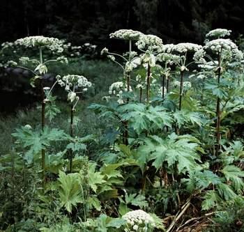 фото растение борщевик