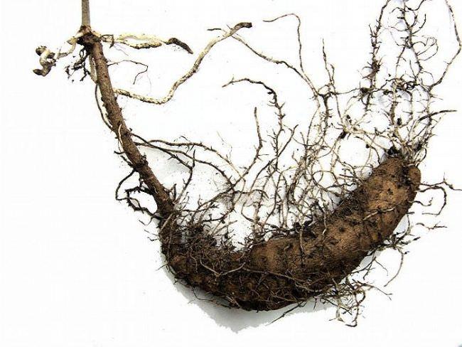 Тамус обыкновенный (адамов корень): полезные свойства и применение в народной медицине