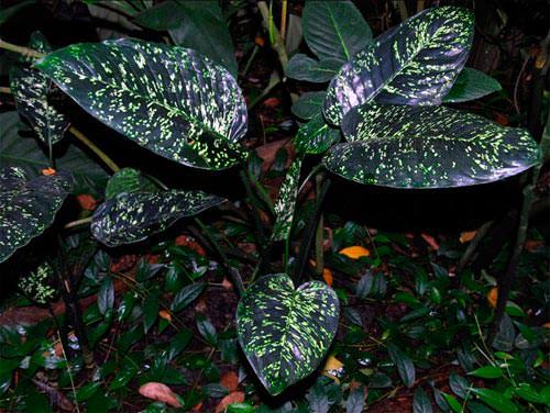 Цветок диффенбахия: разнообразие видов и секреты ухода в домашних условиях