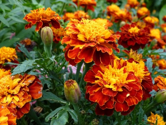 Чернобривцы (бархатцы): лечебные и полезные свойства душистых цветов