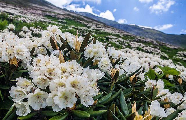 Рододендрон кавказский: полезные свойства, противопоказания и варианты применения в народной медицине