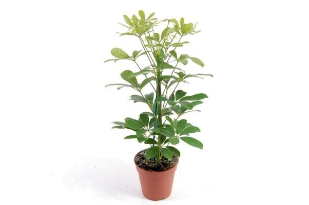 Цветок Шеффлера: особенности ухода и размножения в домашних условиях