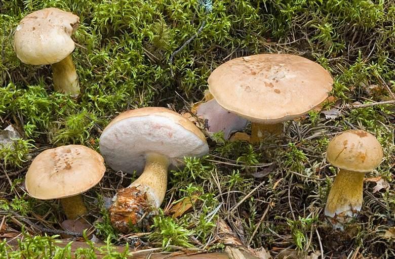 грибы горчаки