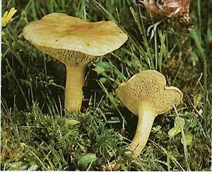 фото гриба козляк