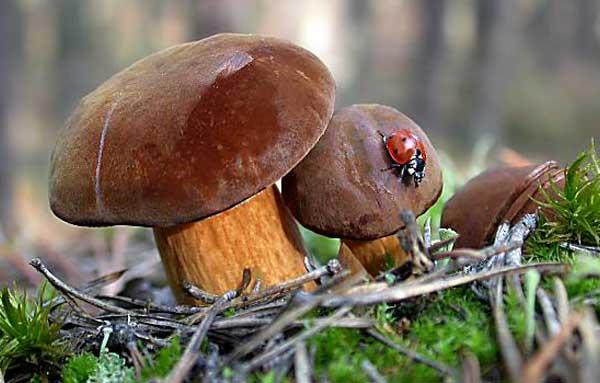 грибы подмосковья фото и описание польский гриб