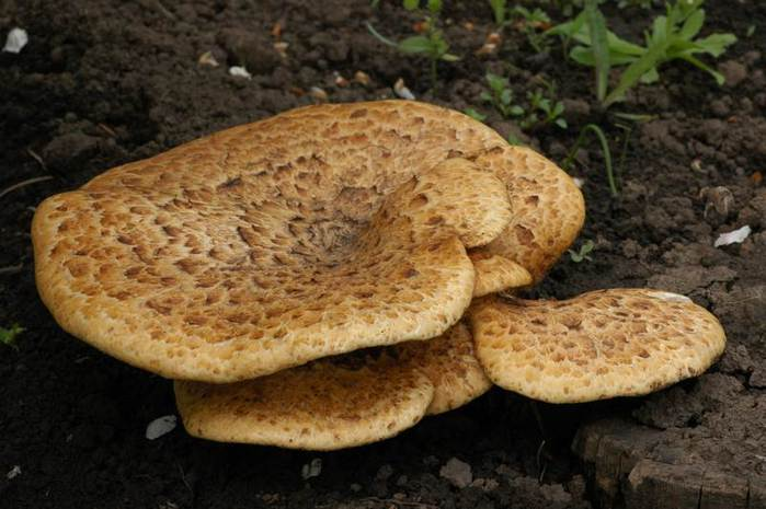 трутовик гриб как готовить