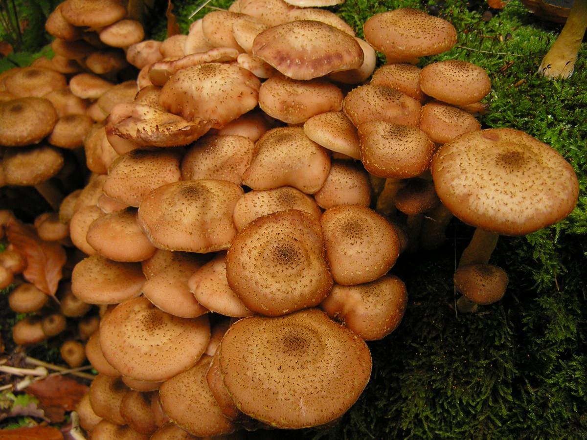 это единственный опята грибы картинка мужчины могут