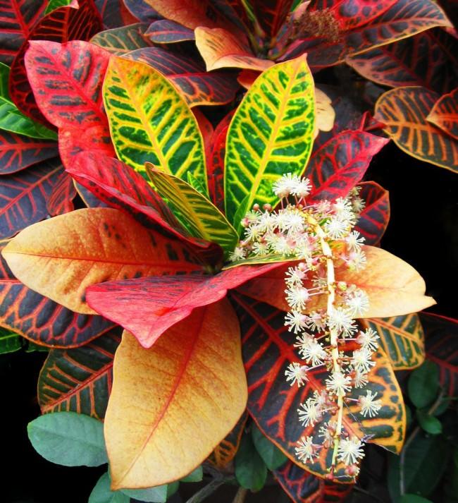 Цветок кротон фото его цветение