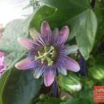 Выращивание маракуйи в домашних условиях как бизнес- Полезные свойства