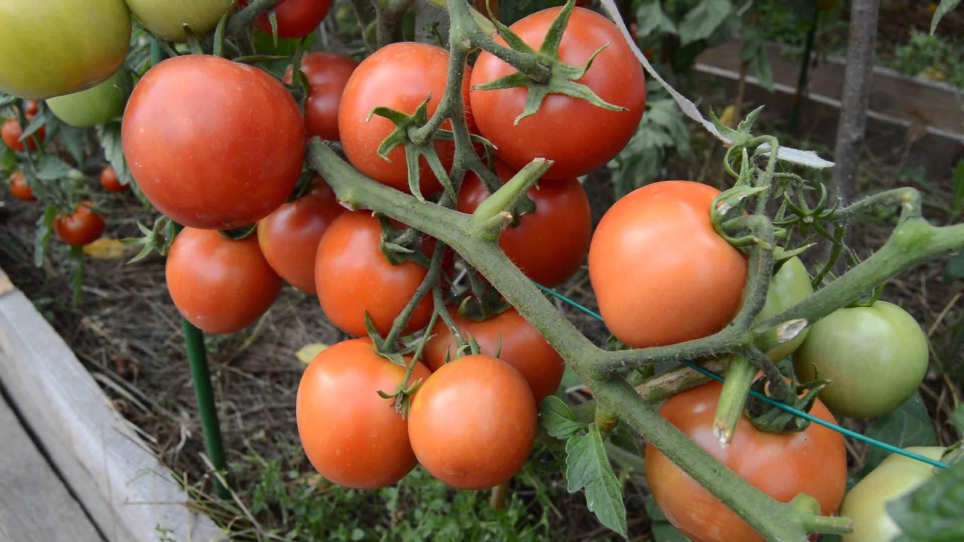 Помидоры для северо-запада: лучшие сорта томатов, отзывы.