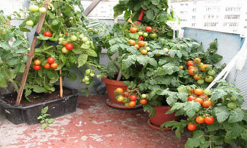 Самостоятельное пошаговое выращивание помидоров на балконе: .