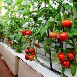 Помидоры Ямал: особенности выращивания томата.