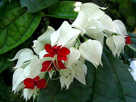 Комнатное растение белые цветы фото