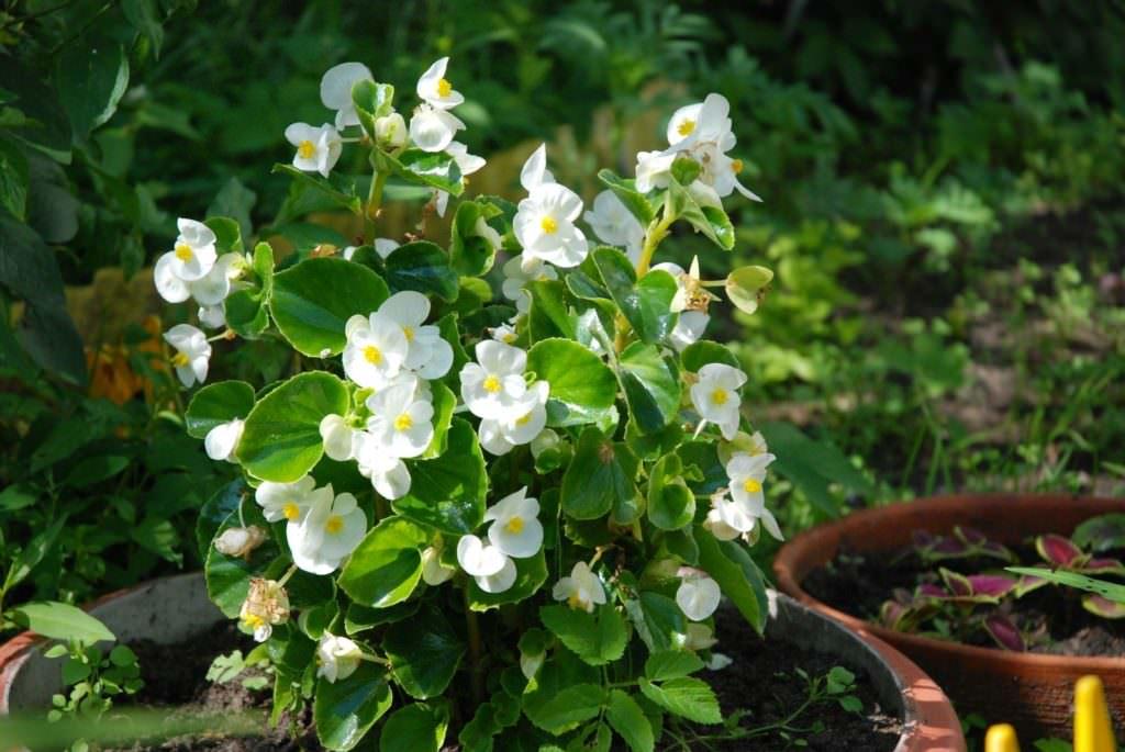 Высокие белые цветы фото и название