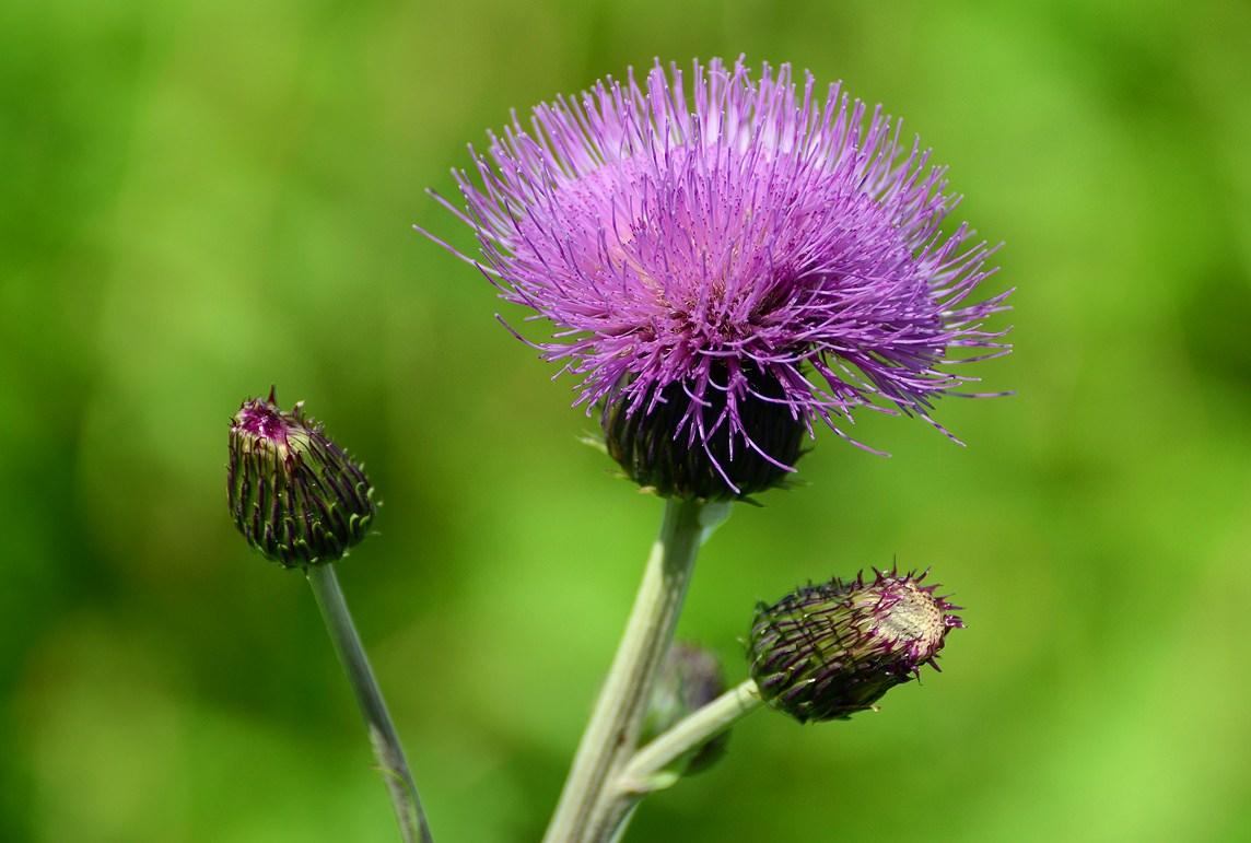 картинки растения репейник