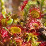Росянка обыкновенная (круглолистная): описание травы, лечебные свойства растения, где обитает дикая, фото