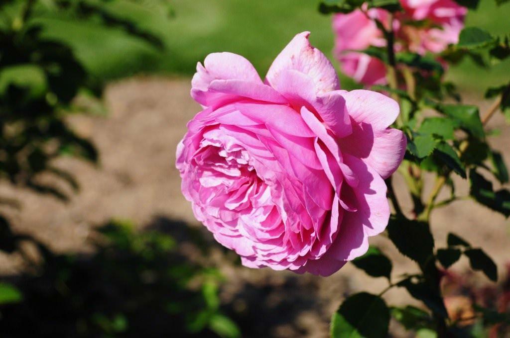 роза аленушка фото и описание отличие других аниматроников