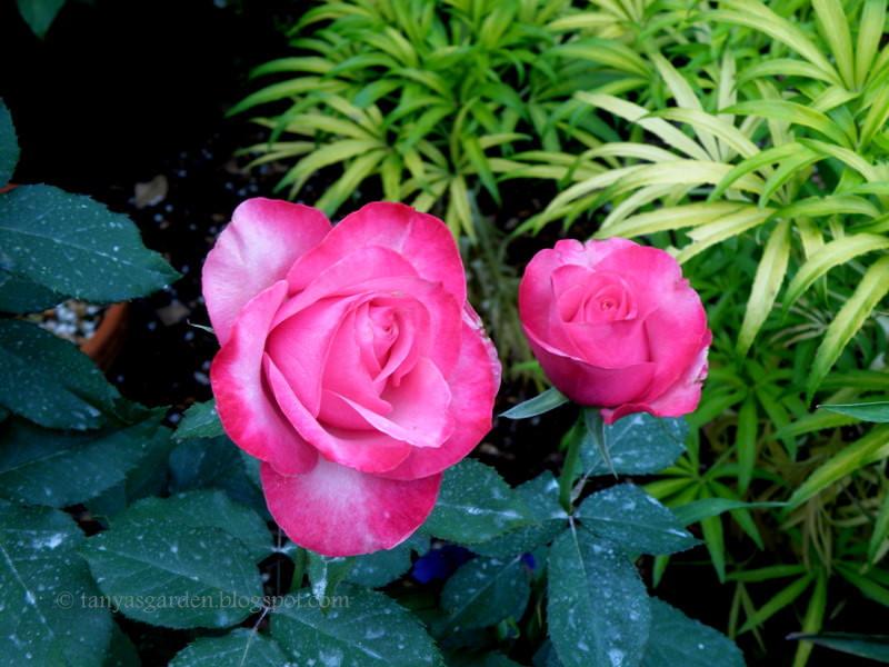 роза аленушка фото и описание интерьер
