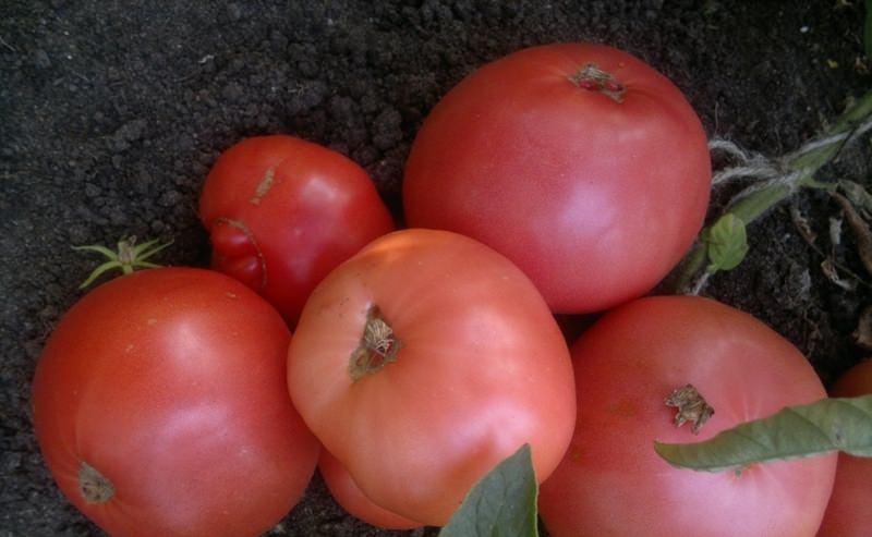 томат дикая роза описание сорта термобелье термобелье